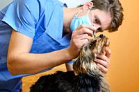 A veterinary ophthalmologist makes a medical procedure, examines a dog eyes blood pressure at a veterinary clinic. Examination of a dog with an injure...