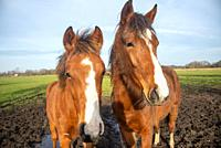 horses at Reest valley in Overijssel, Holland