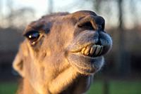 close up of lama at farm in Holland