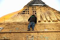 reed worker preparing new roof with reed at old farm in Giethoorn, Holland