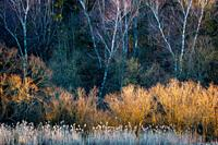 Willows and silver birches lit by late evening light, Turiec region, Slovakia.