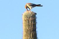 American Kestrel on Saguaro.