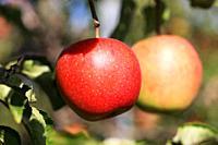 Ripe apple hanging on a tree.
