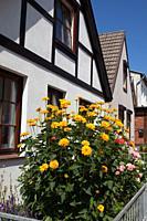 Coreopsis blooming in Warnemunde Germany.