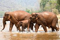 Asian or asiatic elephant (Elephas maximus) bathing in a river. Chiang Mai, Thailand.