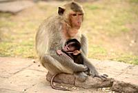 Lopburi city, crab-eating macaques on Phra Prang Sam Yot a Kmer temple. Mother and baby sucking. Thailand.