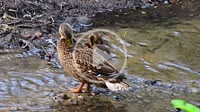 Mallard (Anas platyrhynchos) with chicks standing in water in Ystad, Scania, Sweden