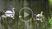 Mute Swan (Cygnus olor) with chicks on dark water in Ystad, Scania, Sweden, Scandinavia