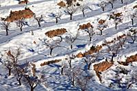 Snowy almond fields between Ademuz and Vallanca. Valencia.