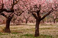 Flowering Almond at the end of the winter in Oset, Alto Turia region. Valencia.