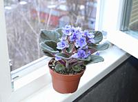 Spring blue violets in a pot for planting on the background of a the window.