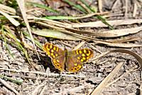 butterfly perched on the ground, sunbathing on a spring day, ocher and orange colors, and its wings spread.