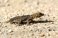Moorish gecko (Tarentola mauritanica) on the ground, with his tail cut off, on the island of Mallorca.