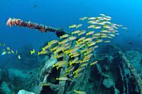 School of Bigeye Snapper (Lutjanus lutjanus) over wreck, Junkyard dive site, Sansopor Raru, Cendrawasih Bay, West Papua, Indonesia.