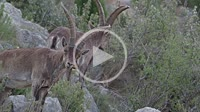 Spanish ibex (Capra pyrenaica) eating and scratching itself in the Alto Mijares mountains, near Ludiente, Castellón.