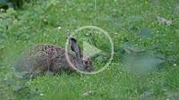 Common hare (Lepus europaeus) eating grass in the Las Ubiñas-La Mesa Nature Park, Asturias, Spain.