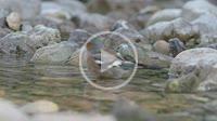 Male finch (Fringilla coelebs) bathing on the Villahermosa river during summer. Ludiente, Alto Mijares, Castellón, Spain.