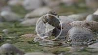 Female greenish (serinus serinus) drinking on the Villahermosa river during summer. Ludiente, Alto Mijares, Castellón, Spain.