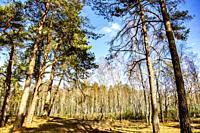 Dutch birch tree forest, The Netherlands, Europe.