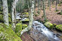 Streem, moss, rocks, birch trees and pines. Sierra de Guadarrama. Madrid. Spain. Europe