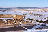 Bighorn sheep, Badlands National Park, South Dakota, U. S. A.