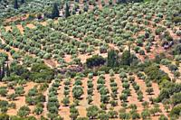 Olive grove near Mycenae, Argolis, Peloponnese, Greece.