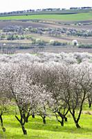 Landscape with blossoming orchard in Spring, Velke Pavlovice, Czech Republic.