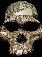 Skull of Australopithecus africanus, replica. MAN, Spain. Isolated.