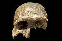 Homo ergaster skull. MAN Madrid, Spain. Selective focus.