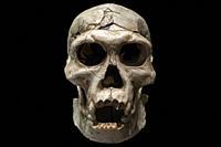 Adolescent male cranuim of manisi hominins or Dmanisi man. Replica. National Archeological Museum, Madrid.