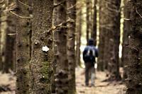 Hiker on dense forest trail near Black Balsam Knob, Blue Ridge Parkway, near Asheville, North Carolina, USA [Shallow Depth of Field].