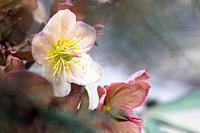 Delicate Lenten Rose (Helleborus) - North Carolina Arboretum, Asheville, North Carolina, USA.
