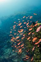 ASchool of Anthias (Pseudanthias sp), Cannibal Rock dive site, Horseshoe Bay, Nusa Kode, Rinca Island, Komodo National Park, Indonesia.