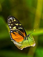 Butterfly (Heliconius numata).