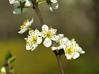 plum orchard in blossom near Lauzun, Lot-et-Garonne Department, Department, Nouvelle-Aquitaine, France.