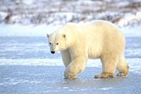 Polar bear (Ursus maritimus) walking on blue ice, Churchill, Manitoba, Canada.