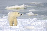 Polar bear (Ursus maritimus) standing at the floe edge from the sea ice, Churchill, Manitoba, Canada.