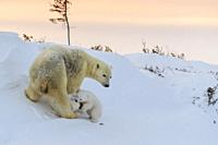 Polar bear mother (Ursus maritimus) with two playing new born cubs, at sunset, Wapusk National Park, Manitoba, Canada.