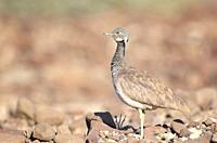 Ruppell's korhaan or Ruppell's bustard (Eupodotis rueppellii) standing in desert, Palmwag Concession, Damaraland, Namibia.