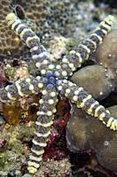 Warty Sea Star (Echinaster callosus), Rojas dive site, Lembeh Straits, Sulawesi, Indonesia.