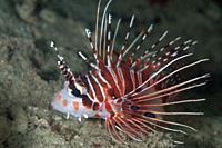 Spotfin Lionfish (Pterois antennata), Matan Island dive site, near Sorong, Raja Ampat, West Papua, Indonesia.