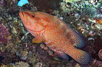 Red Coral Grouper (Cephalopholis miniata), Manta Sandy dive site, near Arborek Island, Dampier Strait, Raja Ampat, West Papua, Indonesia.