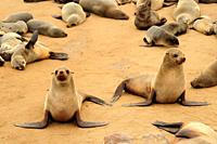 Brown fur seal (Arctocephalus pusillus) on Cape Cross, Namibia.