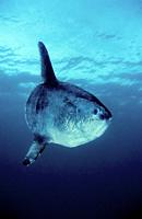 The ocean sunfish or common mola (Mola mola) is one of the heaviest known bony fishes in the world. Adults typically weigh between 247 and 1,000 kg (5...