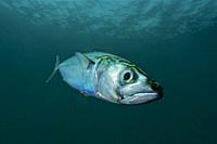 Mackerel (Scomber scombrus). Eastern Atlantic. Galicia. Spain. Europe.