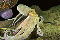 Octopus (Octopus vulgaris). Eastern Atlantic. Galicia. Spain. Europe.