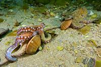 Common octopus (Octopus vulgaris) devouring Brown venus. Smooth callista. Smooth Clam (Callista chione). Eastern Atlantic. Galicia. Spain. Europe.