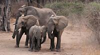 Zambia: Elephants running around in South Luangwa Nationalpark.