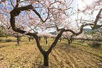 Scenic view of blossoming Almond tree in countryside with blue sky February in Vall d´alba Castellon Spain.
