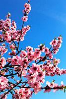 Almond blossoms, cherry blossoms (Prunus dulcis).